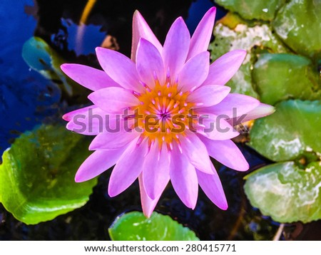 Beautiful pink lotus flower. Thank you for your download. - stock photo