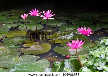 Beautiful pink lotus flower that grows on a lotus leaf in water a lot. - stock photo