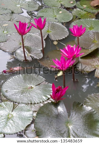 Beautiful pink lotus flower that grows on a lotus leaf in water a lot - stock photo