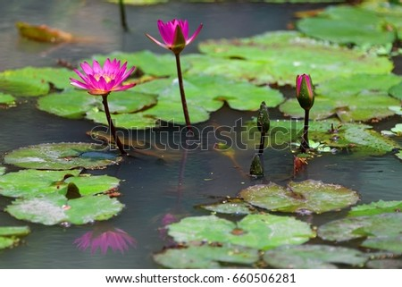 Beautiful pink lotus flowers blooming among stock photo royalty beautiful pink lotus flowers blooming among green leaves in a pond of muddy water lovely mightylinksfo