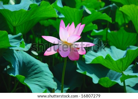 Beautiful pink lotus is a water flower