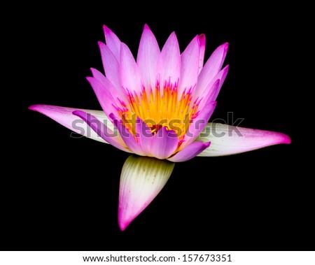 beautiful pink lotus on black background - stock photo