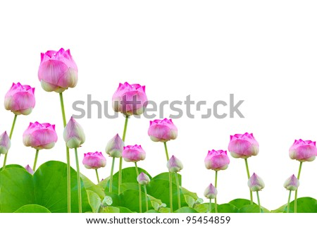 beautiful pink lotus on white background - stock photo