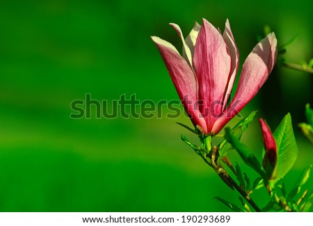 Beautiful pink Magnolia flower  blooming  in Spring Time in sunlight, on green backgrounds - stock photo