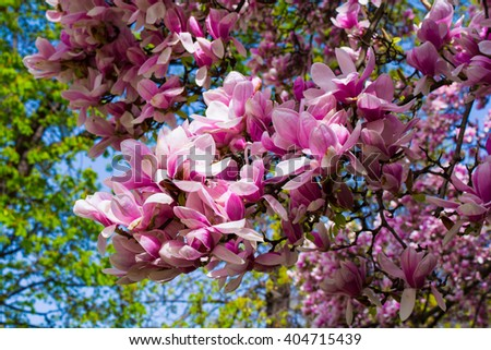 Beautiful pink magnolia flower tree. Spring is here. - stock photo