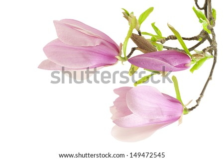 Beautiful pink magnolia flowers - stock photo