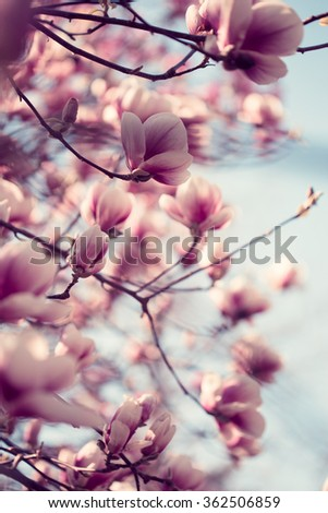 Beautiful pink magnolia flowers  in spring time, toned, selective focus - stock photo