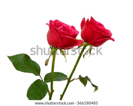 beautiful pink of rose flowers isolated on white background