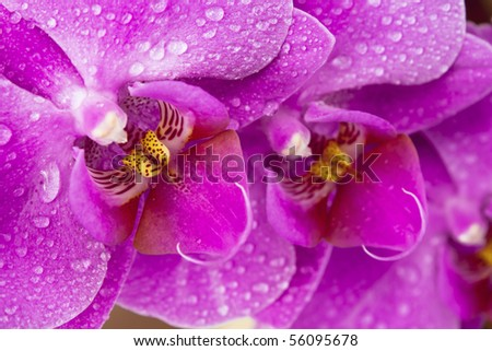 Beautiful pink Orchid drops of water in the flowers. - stock photo