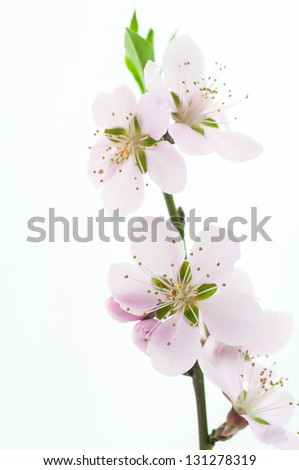 beautiful pink peach flowers