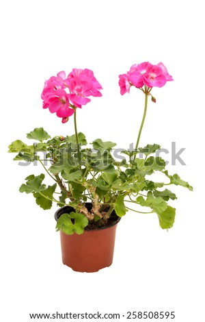 Beautiful pink pelargonium in a flowerpot, isolated on white background - stock photo