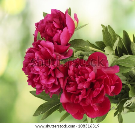 beautiful pink peonies on green background - stock photo