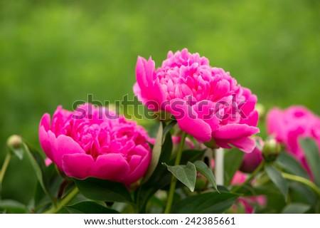 Beautiful pink peony flowers growing on bush  - stock photo