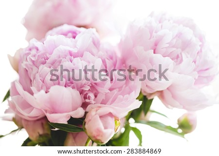 beautiful pink peony flowers, on white background - stock photo