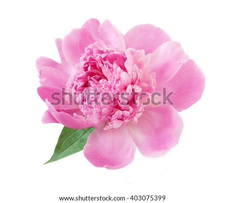 Beautiful pink peony isolated on white background - stock photo