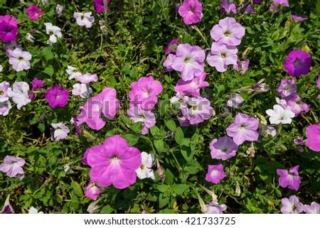 Beautiful pink Petunia Flowers in the garden - stock photo