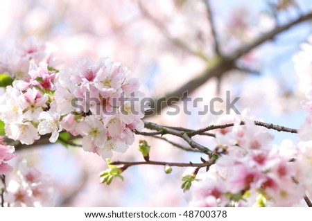 beautiful pink plum flowers in spring - stock photo