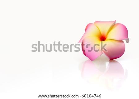 Beautiful pink plumeria isolated on white background - stock photo