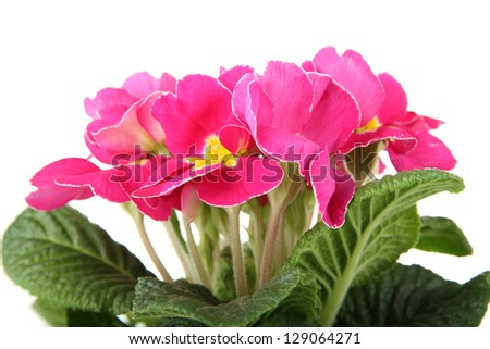 Beautiful pink primula, isolated on white