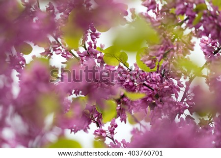 Beautiful pink purple Judas tree blossom branches with soft bokeh - stock photo