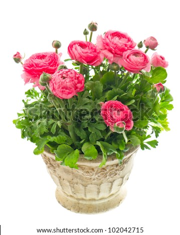 beautiful pink ranunculus plant in pot on white background