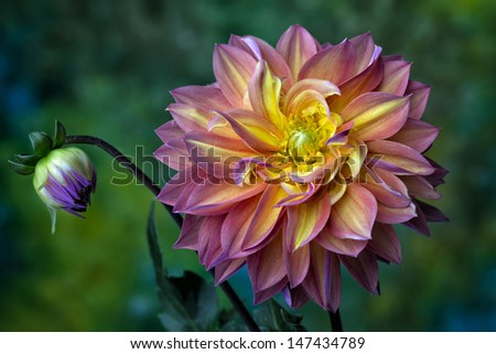 Beautiful pink, red and yellow Dahlia flower with curving petals  closeup - stock photo