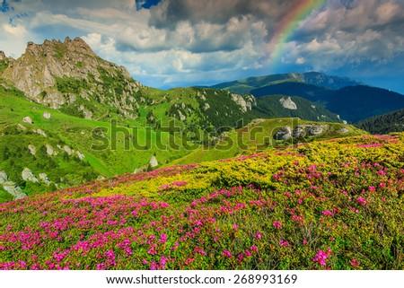 Beautiful pink rhododendron flowers and wonderful rainbow,Ciucas mountains,Carpathians,Transylvania,Romania,Europe - stock photo