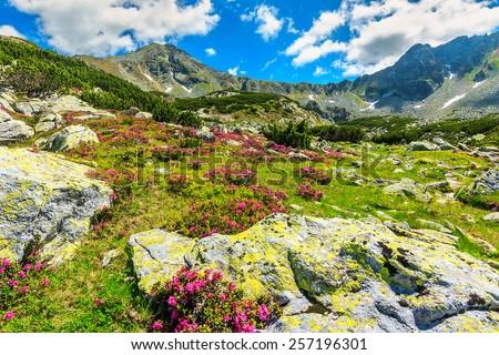 Beautiful pink rhododendron flowers in the glacier valley,Retezat mountains,Carpathians,Transylvania,Romania - stock photo