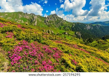Beautiful pink rhododendron flowers on sunny day,Ciucas mountains,Carpathians,Transylvania,Romania - stock photo