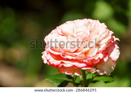 Beautiful pink rose blooming in the summer garden, selective focus - stock photo
