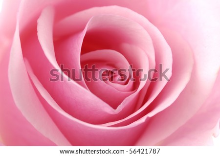 Beautiful pink Rose close up - stock photo