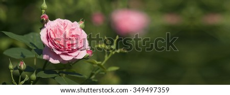 Beautiful pink rose flower in the garden - banner - stock photo