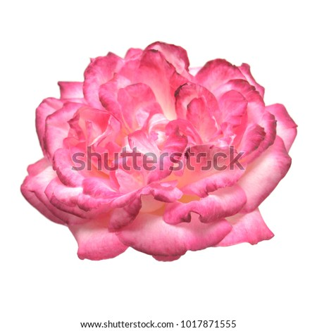 Beautiful pink rose flower with bud isolated on white background. Flat lay, top view.