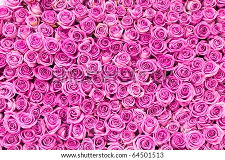 beautiful pink rose flowers - stock photo