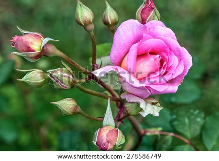 Beautiful pink rose flowers and  buds  - stock photo