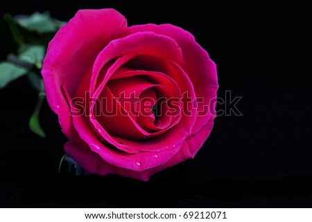 Beautiful Pink Rose, Isolated, Black - stock photo