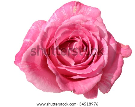beautiful pink rose isolated on white - stock photo