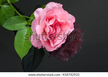 Beautiful pink rose, mirror reflection on black background.