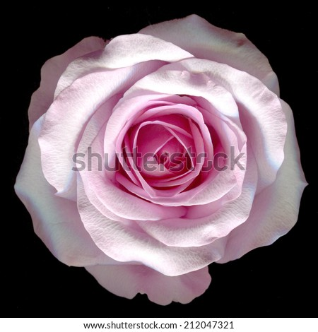 beautiful pink rose on a black background - stock photo