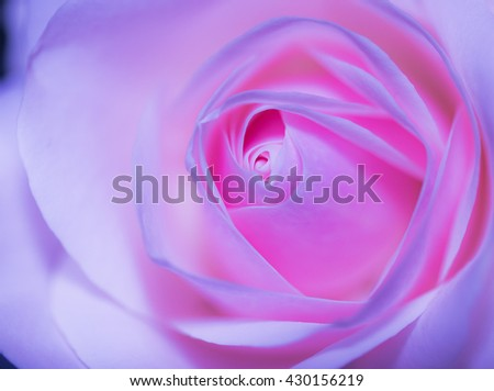Beautiful pink rose on a soft background with shallow depth of field and focus the centre of rose flower in filter color