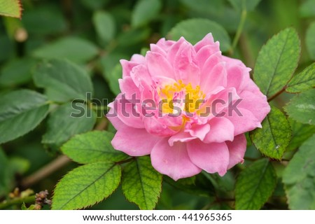 Beautiful pink rose with blur nature background, beautiful rose in garden  - stock photo