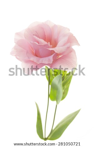 Beautiful pink rose with fresh leaves isolated on white - stock photo