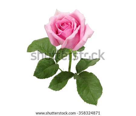 Beautiful pink rose with leaves isolated on white
