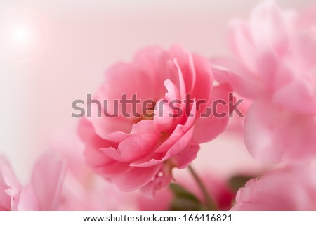 Beautiful pink rose with light and copy space - stock photo