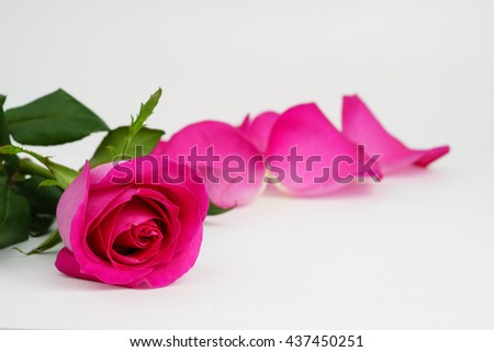 Beautiful pink rose with petals on white background - stock photo
