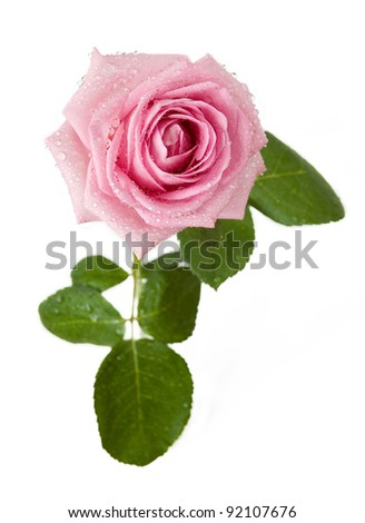 Beautiful pink rose with water drops isolated on white