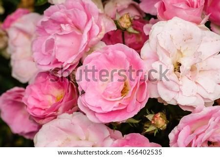 Beautiful pink roses background, - stock photo