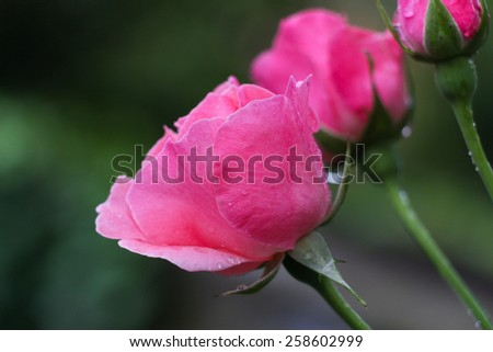 Beautiful pink roses in a garden with rain drops. - stock photo