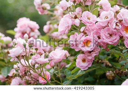 Beautiful pink roses in garden - stock photo
