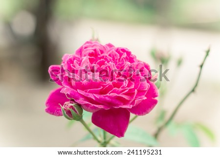 beautiful pink roses in nature background